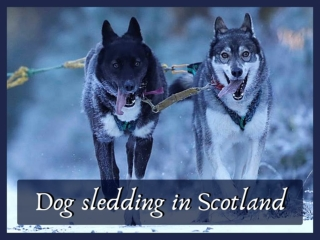 Dog sledding in Scotland